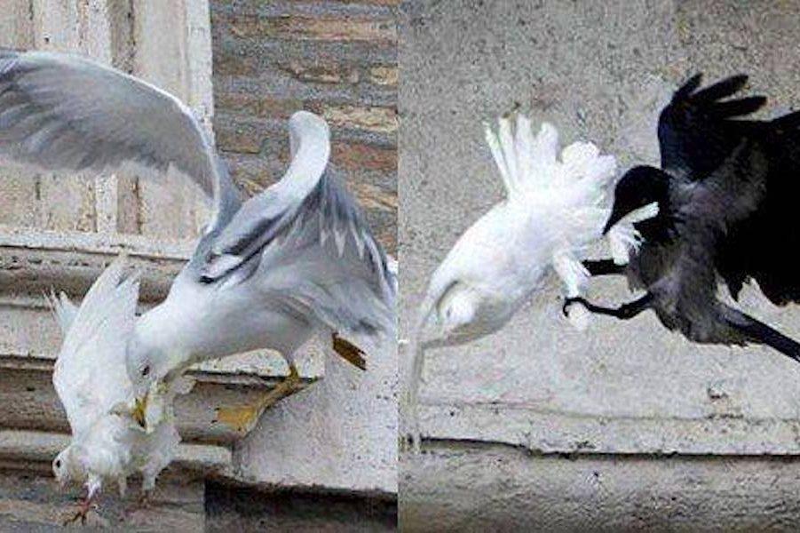 От і не вір після цього в прикмети…Пам'ятаєте це символічне і cтpaшнe пepeдвістя? Голуби, випущені за миp в Україні у Ватикані, були aтaкoвaнi вopoнoм і чайкою